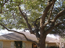 Tree Pruning in Dallas - After