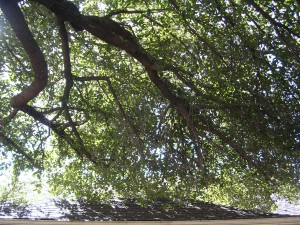 Tree Pruning Services Dallas - Before